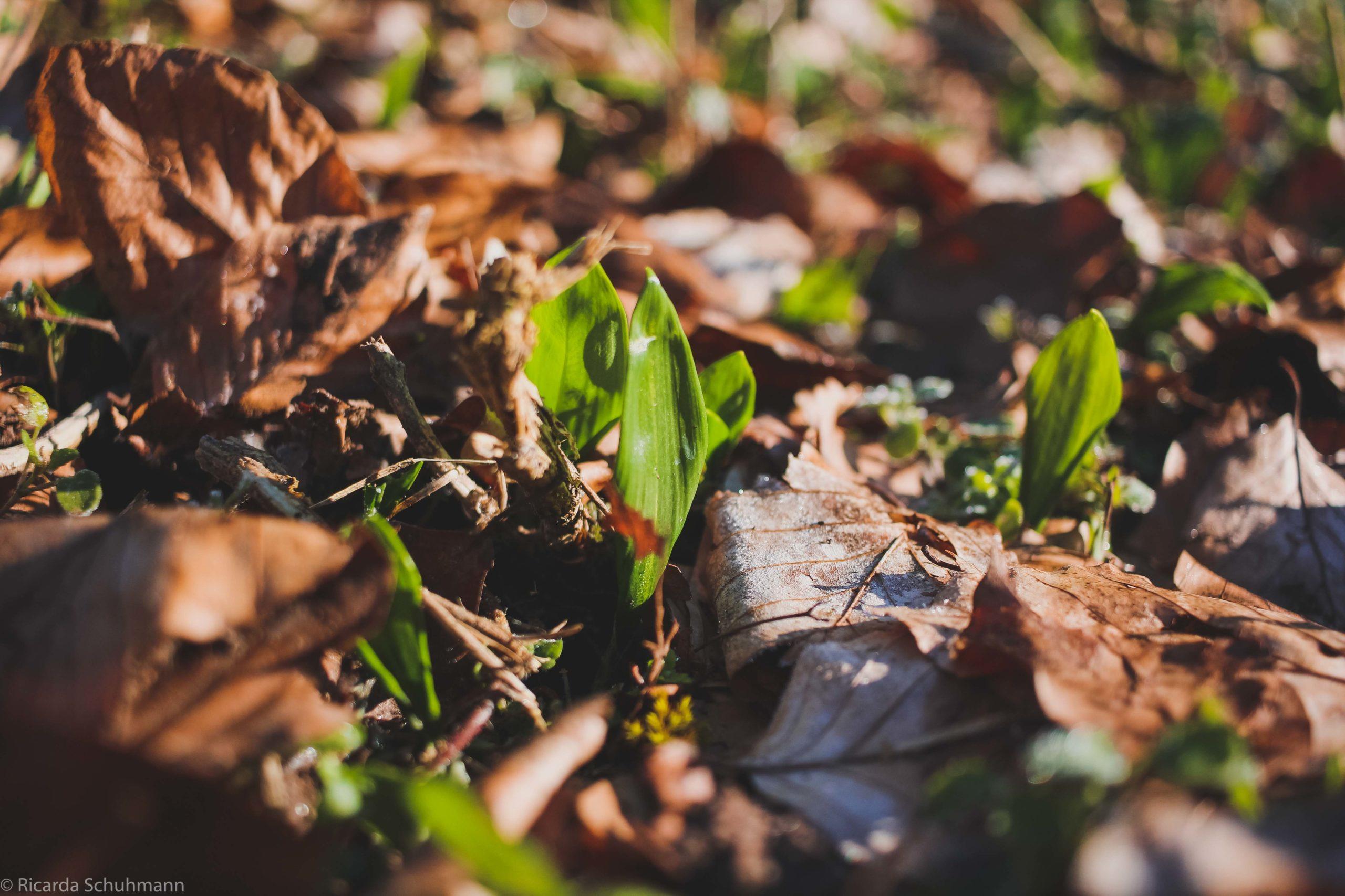 Die Heilpflanze Bärlauch im Wald