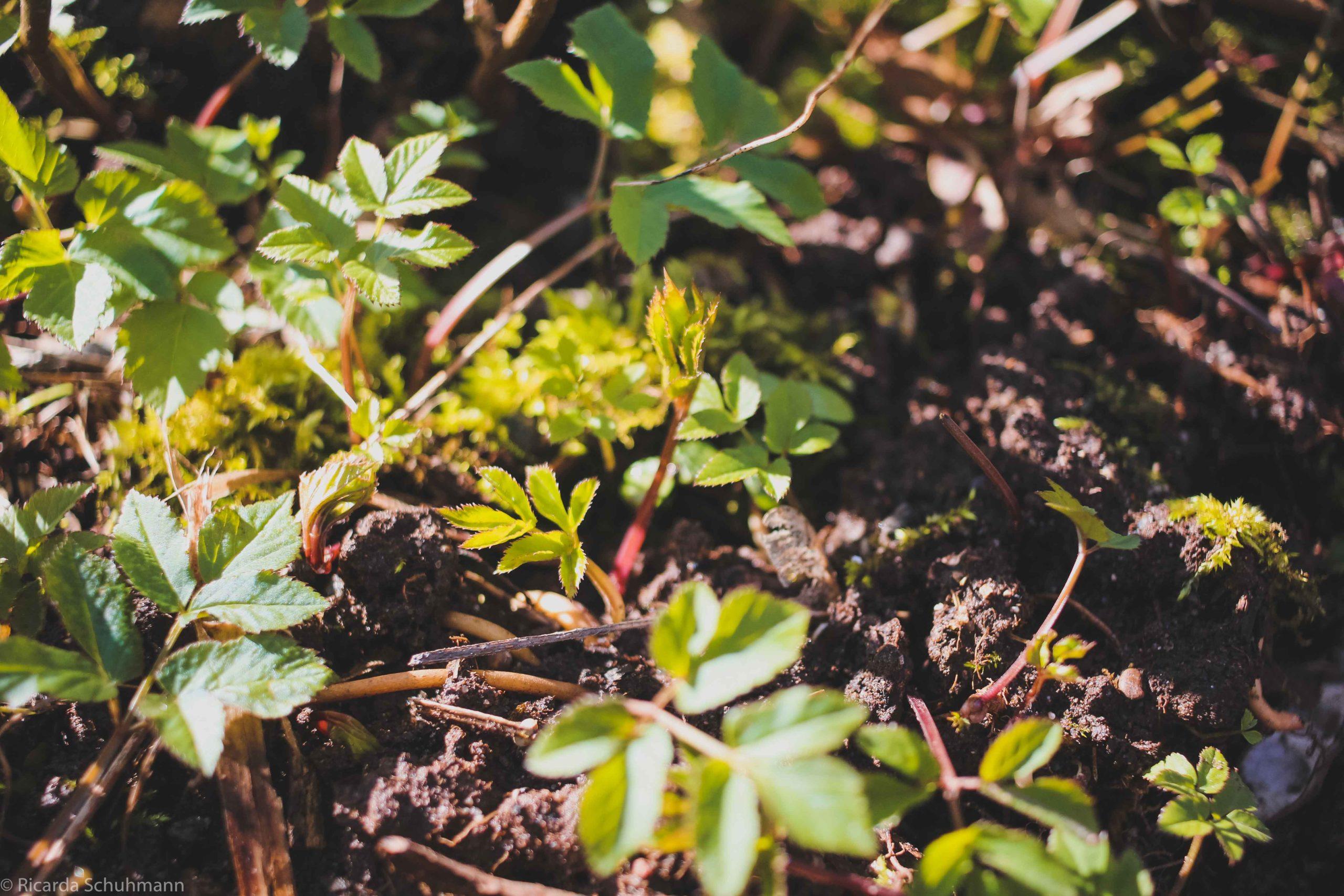 Gewöhnlicher Giersch wächst als Wildkraut in der Natur